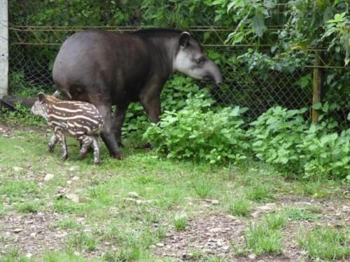 tapir_yunga